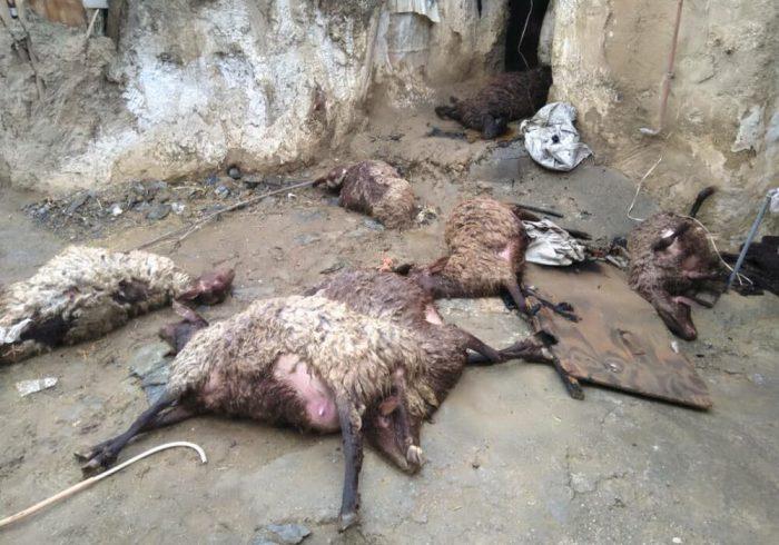 ۱۴ رأس دام در روستای «هودرج» اسدآباد تلف شد
