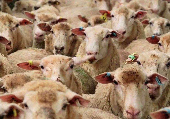 اجرای طرح پلاک کوبی دام های عشایری تهران