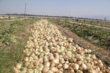 قیمت پایین پیاز اشک کشاورزان هرسین را درآورد